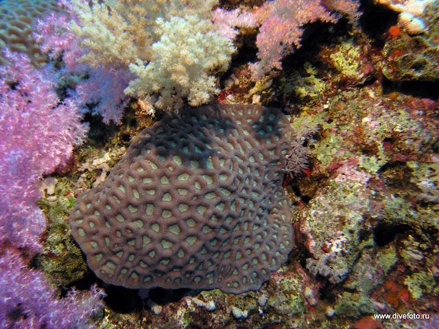 Мягкие кораллы вокруг твердого
