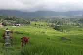 Rice Paddy: Bali