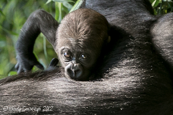 Adorable Gorilla Baby