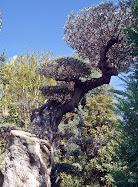 Olivo ornamental