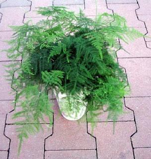 Jardineria, Catalogo de Plantas: Asparagus setaceus (plumosus)