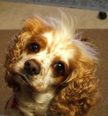 Spaniel tilting her head.