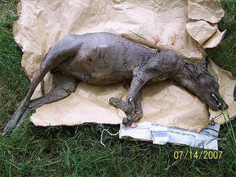 Inilah rupa sebenar chupacabra makhluk aneh penghisap darah kambing