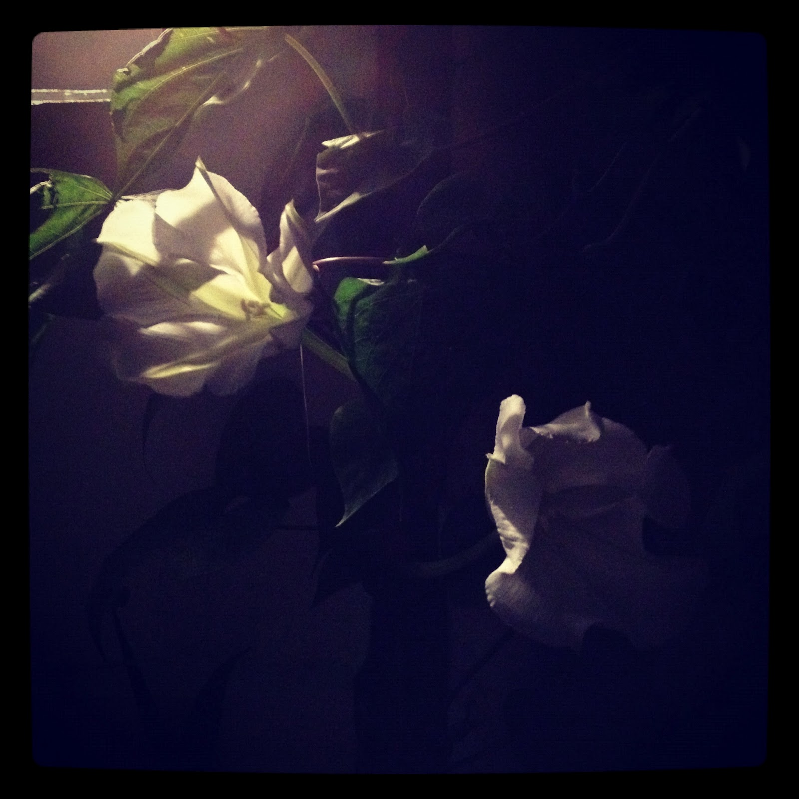 Children Of The Corm A Charleston Garden Blog Moon Flowers At Large
