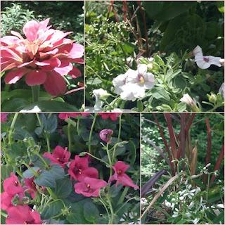 balkonpflanzen für die sonne: Zinnie, Zauberglöckchen, Elfenspiegel, Lampenputzergras und Zauberschnee