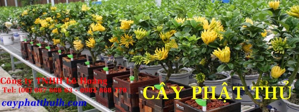 cây phật thủ tại TPHCM