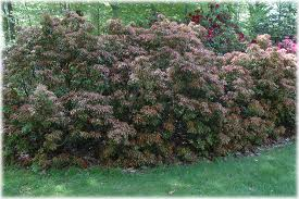 Large scale, spring blooming, deer resistant, shade-loving evergreen Pieris  shrubs offer privacy and screening in shady spaces, where other shrubs  would ...