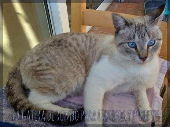 Milo, gato positivo de Gaticos y Perretes