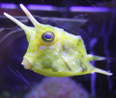 ... Myself...What A Wonderful World.: Creature Feature: Longhorn Cowfish