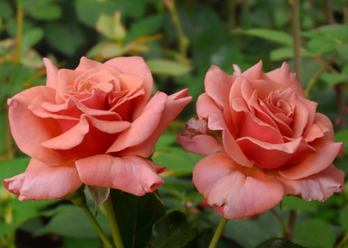 Ann Henderson rose сорт розы фото