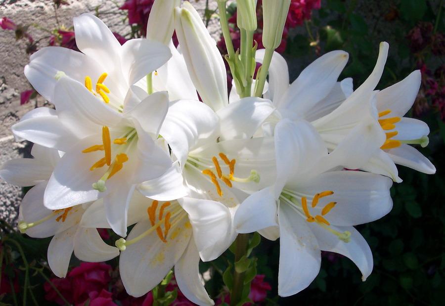 Im genes de flores y plantas azucena for Azucena plantas jardin