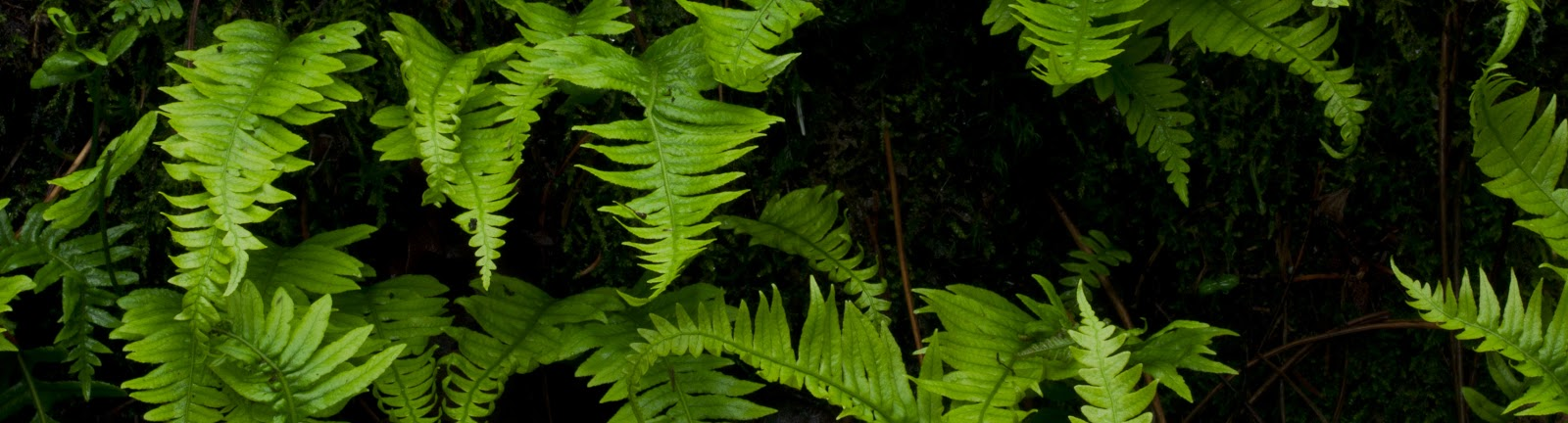 a horizontal grouping of rich green Licorice ferns against a black background