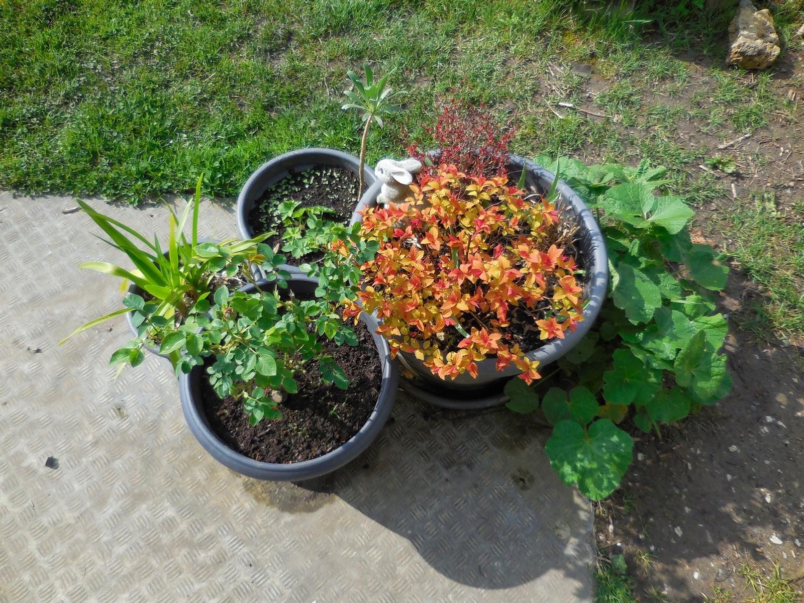 Cagouille 39 s garden jardini res printani res - Rose tremiere en pot ...