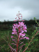 Rosebay Willow Herb Chamerion augustifolium