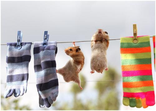 ratos no varal