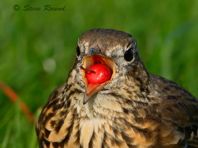 birds, Mistle Thrush, berries, eating
