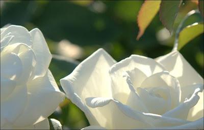 2 white flowers rose wallpaper