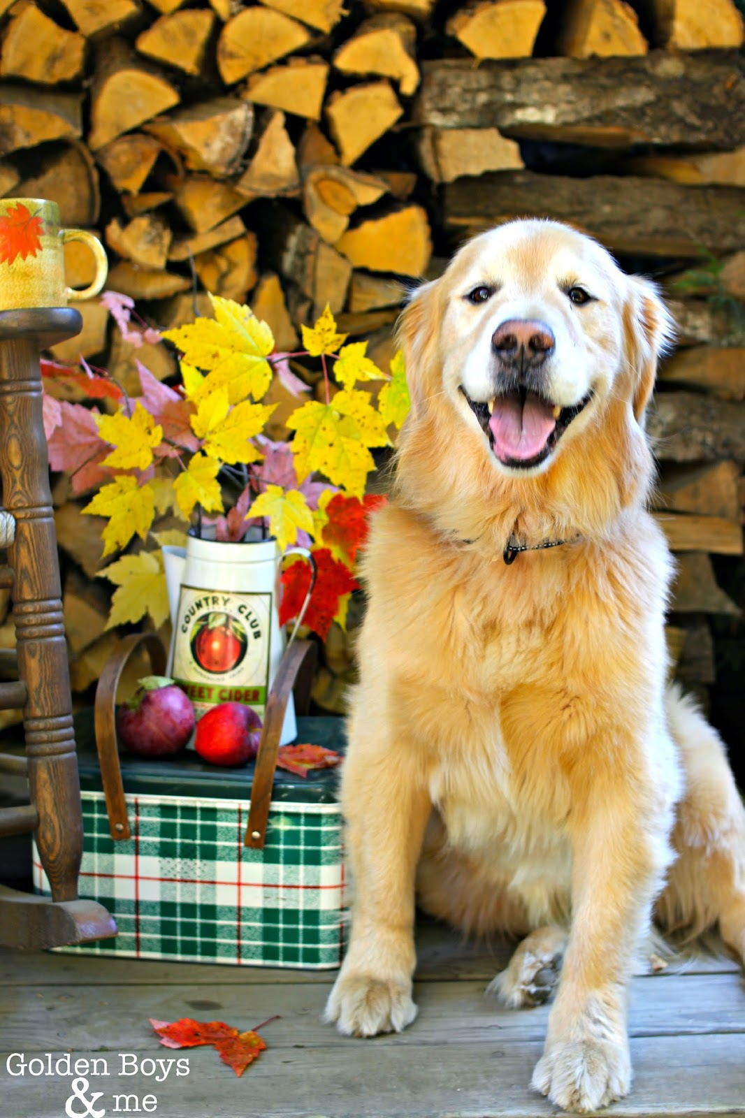 Golden retriever on fall porch-www.goldenboysandme.com