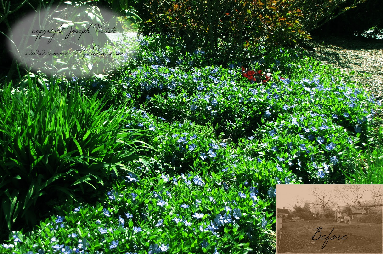 vinca vine ground cover  gallery, Natural flower