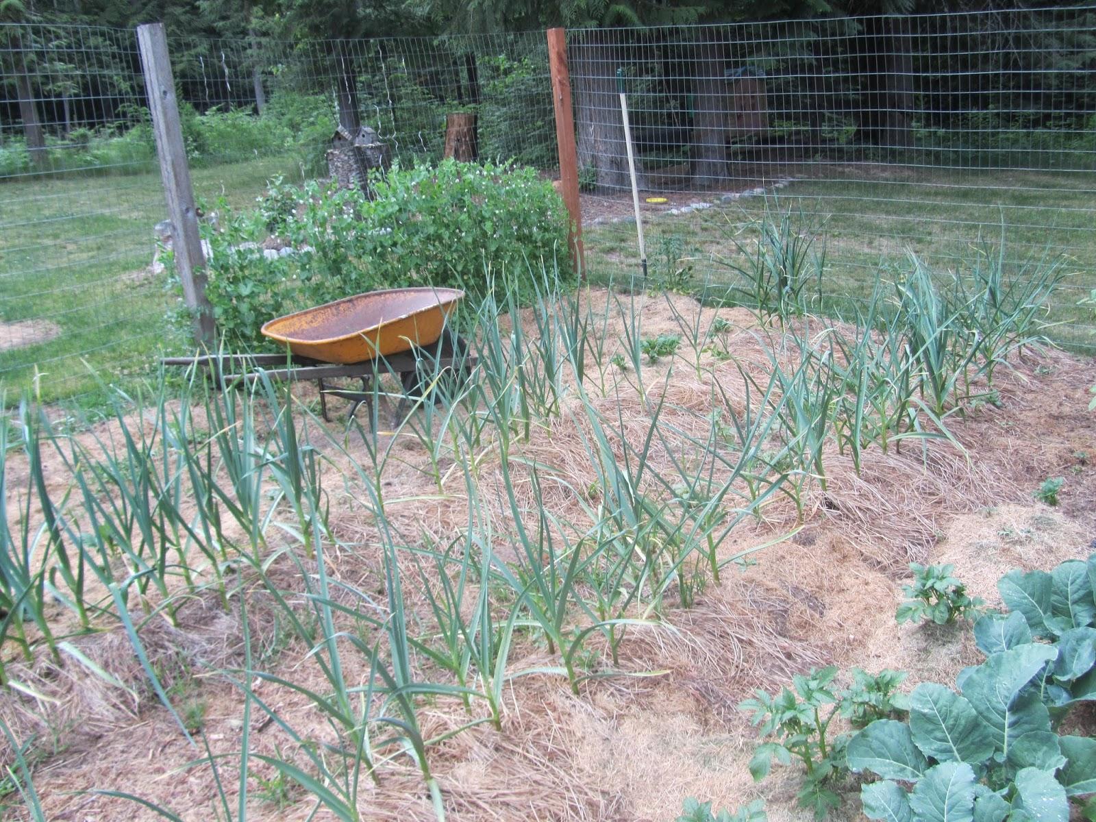 Growing Garlic in North Idaho