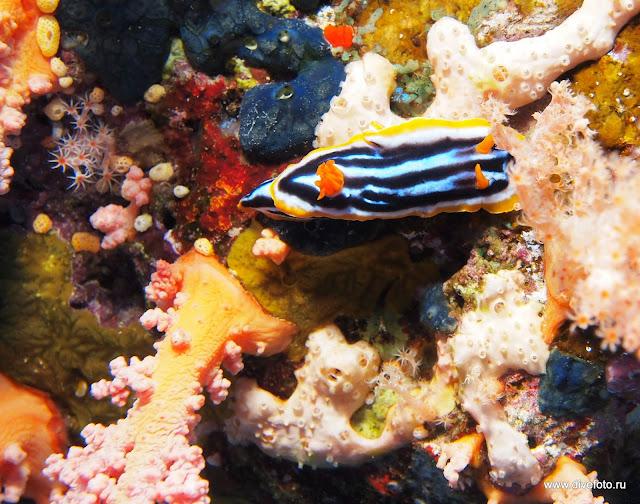 Четырехцветный голожаберник фото 2