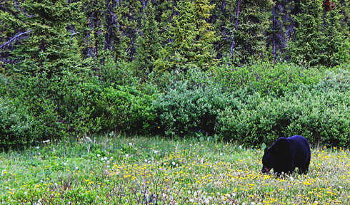 black bear alberta rocky mountains travel photography