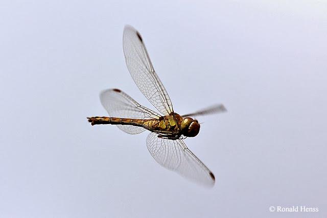 Tierfotos - Insekten - Libellen - Große Heidelibelle im Flug