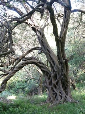 Gnarled olive