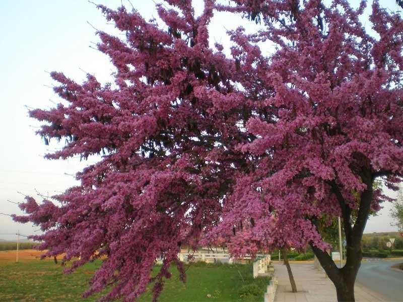 La espumilla taringa for Arboles florales para jardin