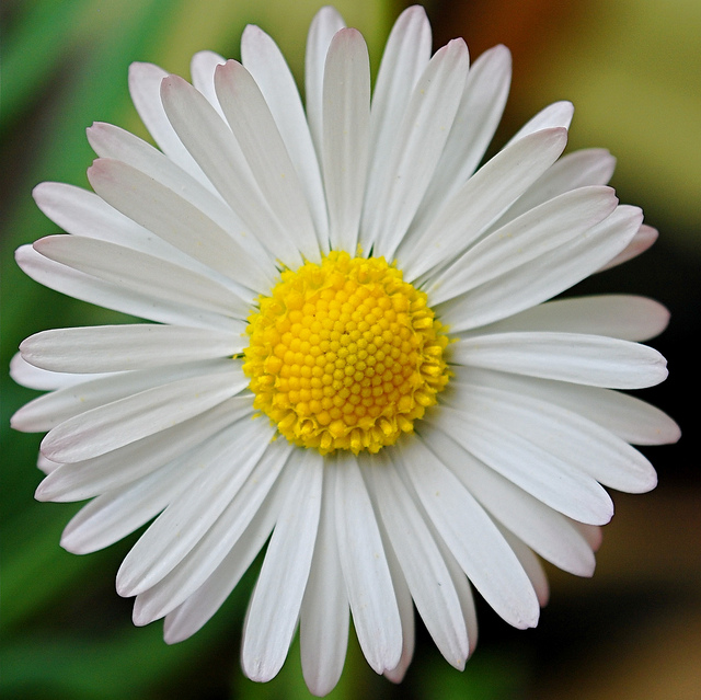 Close up of a daisy