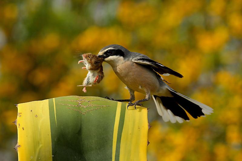 El ojo del buitre aves alcaud n lanius minor - Mas y mas curriculum ...