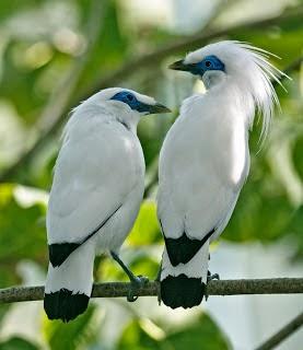 Foto Burung Jalak Bali Jantan