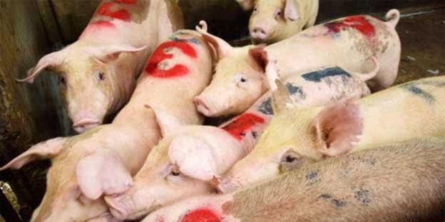 Daging babi bercampur zat kimia