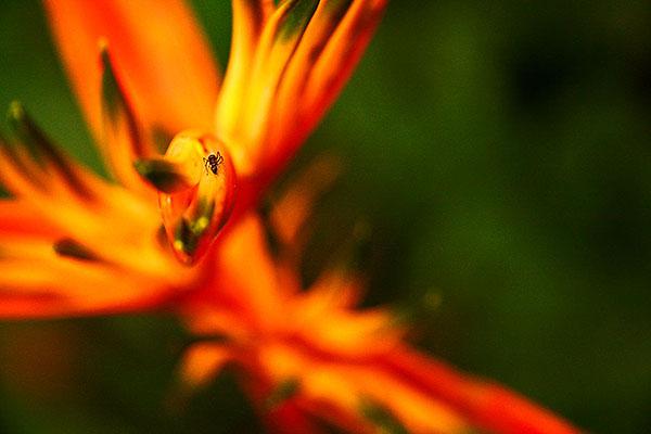 AMAZING AMAZON #5 : Ant + Heliconia / Hormiga + Heliconia