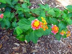Jual pohon lantana | supllier tanaman | jasa tukang taman