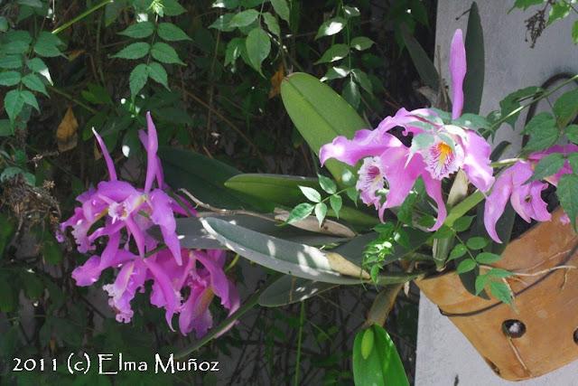 orquideas del peru cattleya maxima