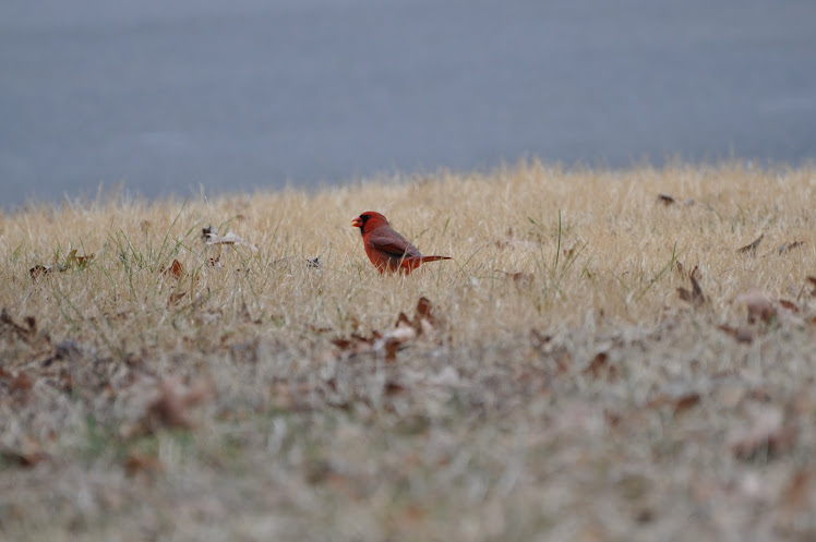 Red Cardinal