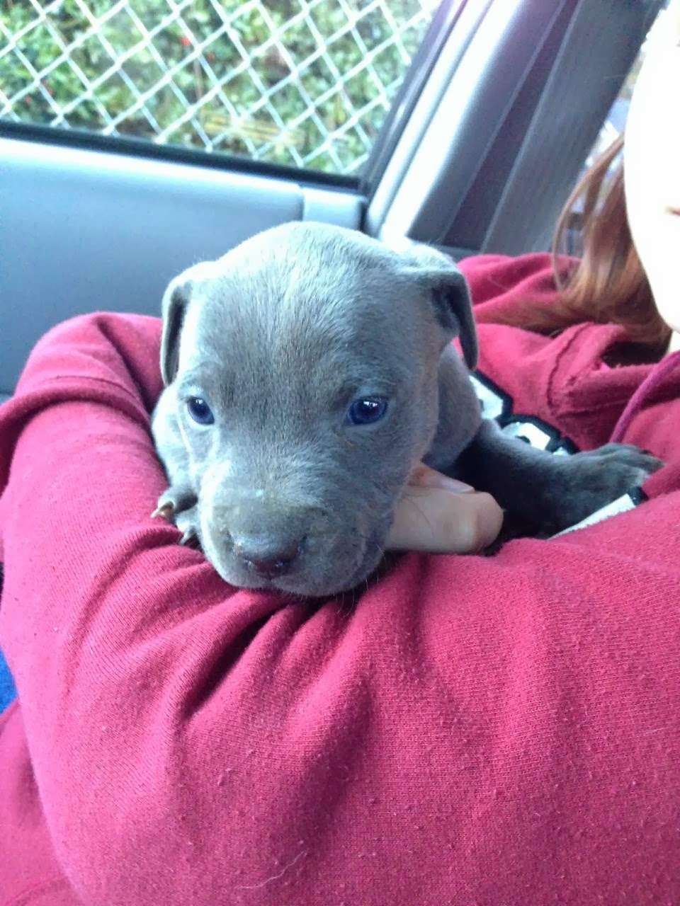 Cute dogs - part 9 (50 pics), girl holds pitbull puppy