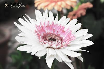 pale white flower