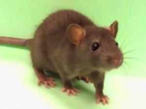 gambar tikus belanda gambar tikus terbesar gambar tikus dan kucing ...