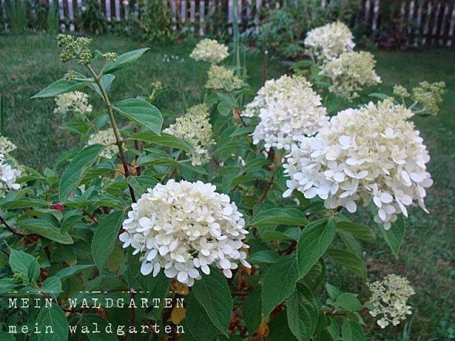 mein waldgarten wei e rispenhortensien und hortensien vermehren. Black Bedroom Furniture Sets. Home Design Ideas