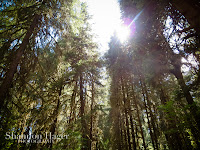 Shannon Hager Photography, Hoh Rainforest, Tall Trees