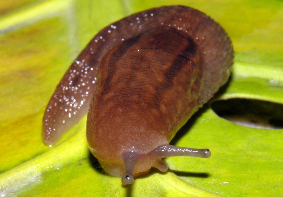 ... contiene tanto especies con concha caracoles como sin concha babosas