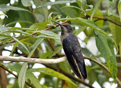 BROWN VIOLETEAR