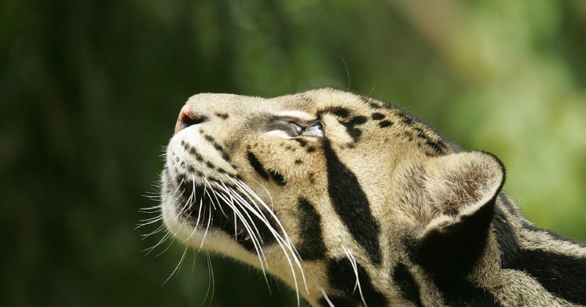 clouded leopard term paper Read this essay on the clouded leopard come browse our large digital warehouse of free sample essays get the knowledge you need in order to pass your classes and more.