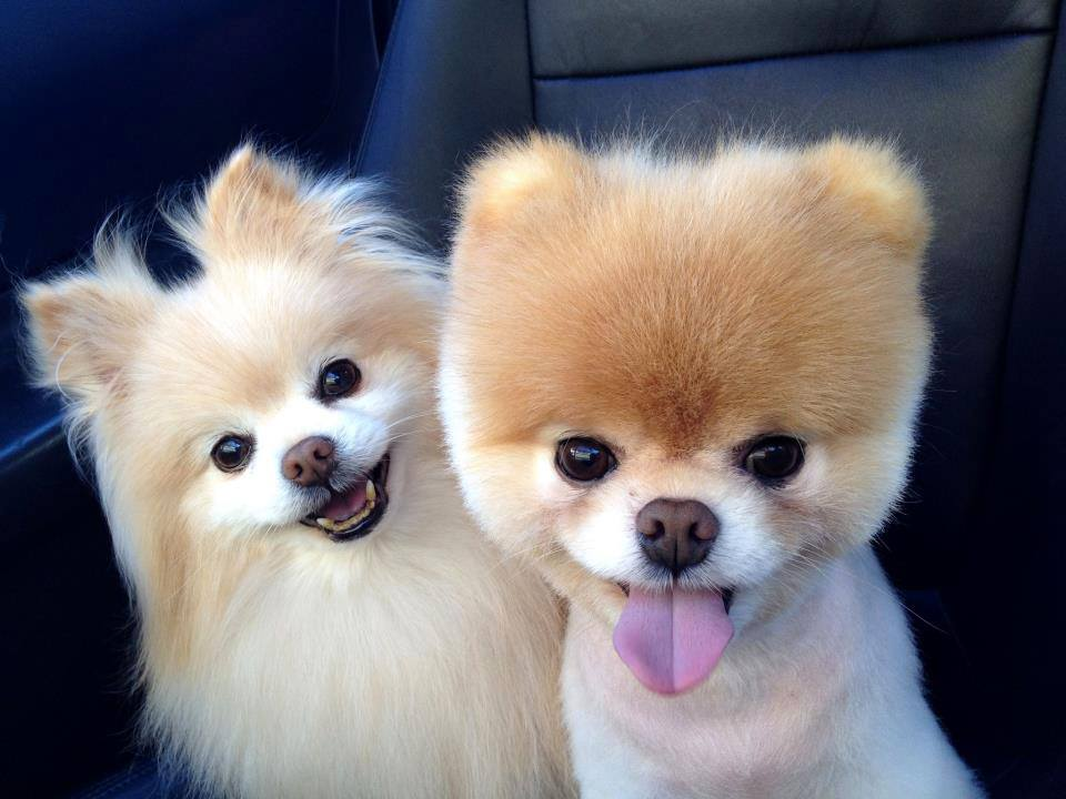 Cute Pomeranian puppies couple