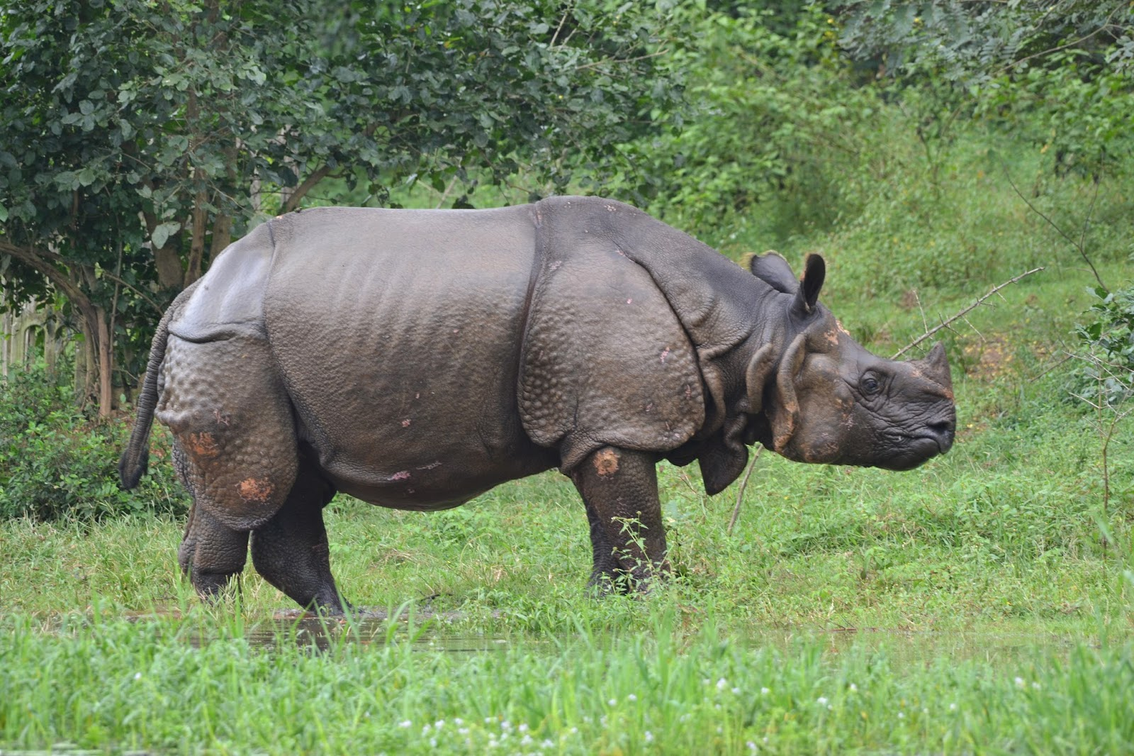 Rhinoceros at Nandankanan zoological park