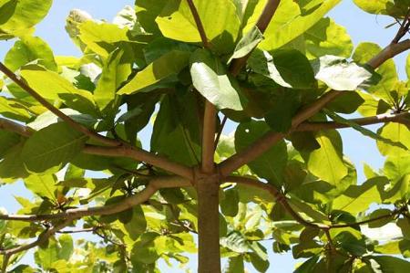 Mơ thấy gánh 2 cây bàng đến trồng ở cổng làng