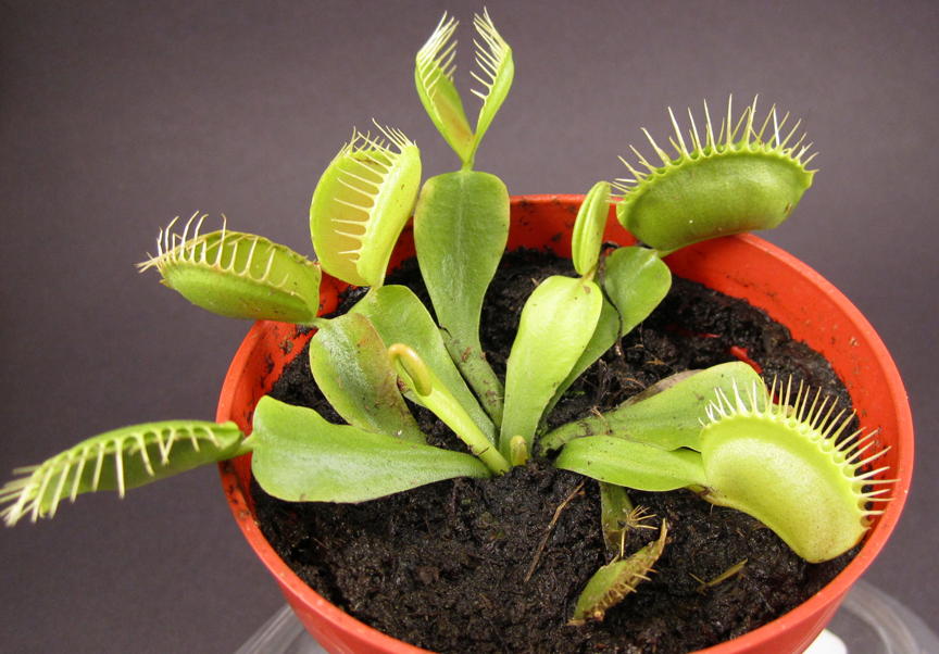 Venus Fly Trap Animation For Tattoos Venus Fly Trap
