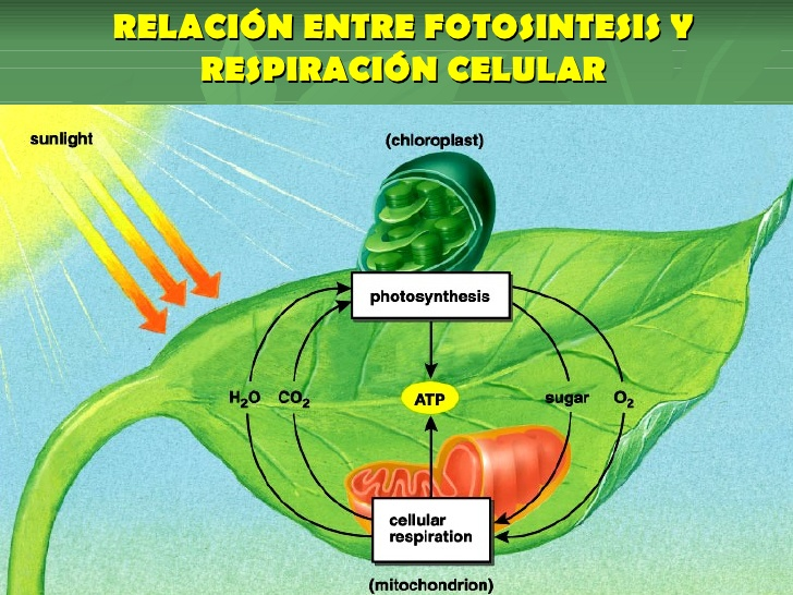 plantas anabolicas naturales